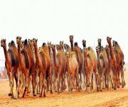 مهرجان «مزايين الإبل» يبدأ تسجيل غير المشاركين