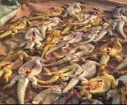 ضبط مواطن قام بالصيد الجائر بالقصيم